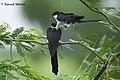 Jacobin Cuckoo Mating Pair1.jpg