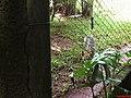 Jaguatirica ou Gato do Mato (Leopardus pardalis) - Zoológico de São Carlos - panoramio.jpg