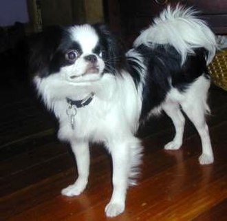 Japanese Chin - An adult male Japanese Chin. A fully mature Chin's coat is long and full.