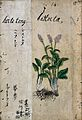 Japanese Herbal, 17th century Wellcome L0030051.jpg