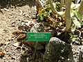 Jardín canario 30.JPG