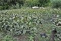 Jardin des Plantes - vignes 001.JPG