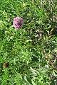 Joe-pye-weed (Eutrochium fistulosum) 4842.jpg