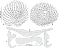 Journal.pone.0171392.g011 - Pseudorhabdosynochus dolicocolpos from Mycteroperca costae, squamodiscs and haptoral parts.png