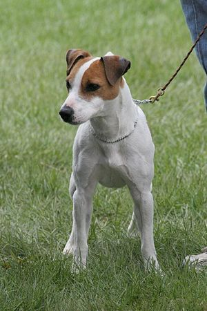 English: Photo of a Jack Russell Terrier