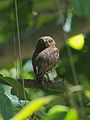 Jungle owlet.jpg