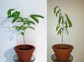Jungpflanze des Seidenbaums (Schlafbaum).png