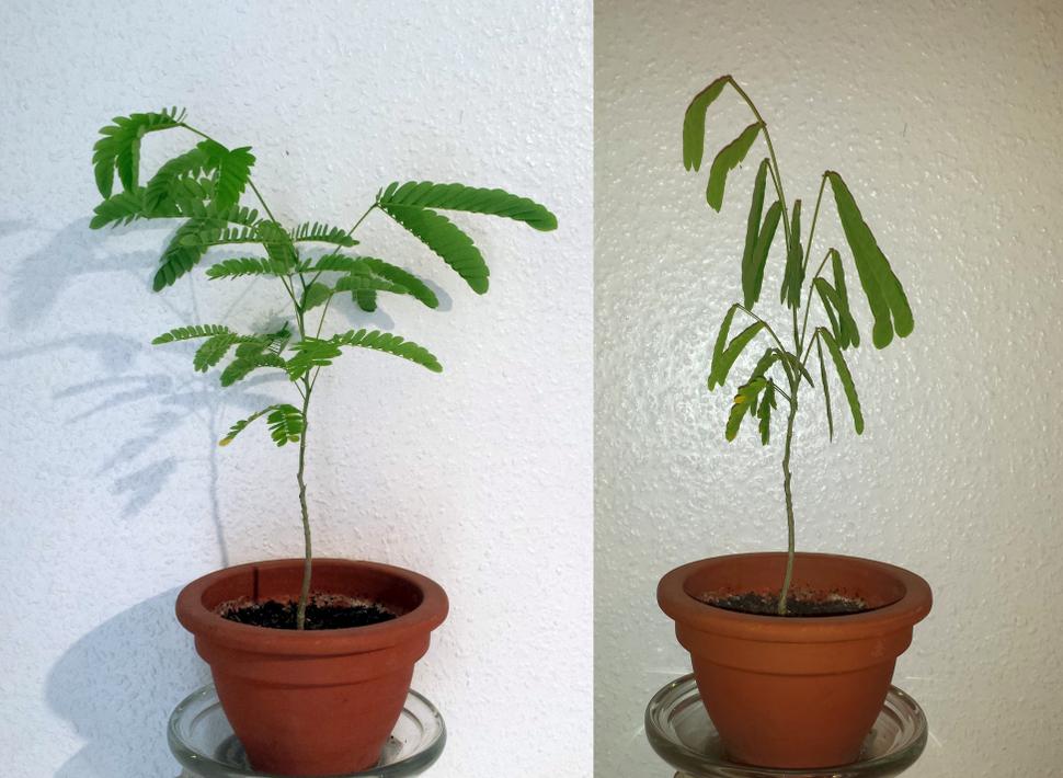 Jungpflanze des Seidenbaums (Schlafbaum)