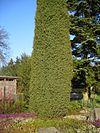 Juniper tree in a garden.jpg