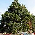 Juniperus virginiana, Belgrade.jpg