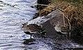 Kärrsnäppa Dunlin (14341895139).jpg