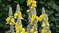 Königskerze (Verbascum thapsus).jpg