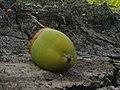 K.Pudur Village Coconut 6.jpg