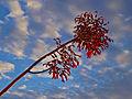 Kalanchoe daigremontiana en flor.jpg