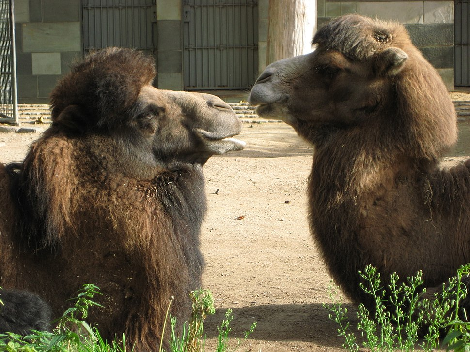 Kamele Zoo Berlin 2