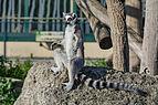 Katta Lemur catta Wien Tiergarten Schönbrunn.jpg