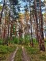 Kiefernwald im Naturschutzgebiet Bollwinwiesen Großer Gollinsee.jpg