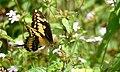King Swallowtail (Papilio thoas) (38934968110).jpg