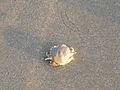 Kizhunna beach crab.JPG