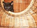 Kleine Katze im Korb.TIF