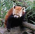 Kleiner Panda Ailurus fulgens Tierpark Hellabrunn-8.jpg