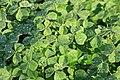 Kluse - Oxalis tuberosa 08 ies.jpg