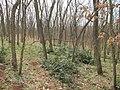 Korina 2013-03-18 Mahonia aquifolium 12.jpg
