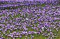 Krokusblüte in Drebach..IMG 0804WI.jpg