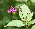 Kukka Isojärvellä.jpg