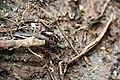 Kumbang gunung kerinci 3805mdpl.jpeg