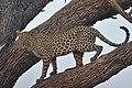 Léopard dans un arbre.jpg