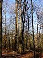 La Neuville-en-Hez (60), chemin forestier de Froidmont, le chêne Chandelier 2.jpg