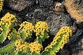 La Palma - Los Llanos de Aridane - Las Manchas - Plaza de Glorieta - Euphorbia pseudocactus 02 ies.jpg