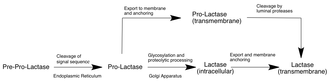 Lactase - Schematic of processing and localization of human lactase translational product