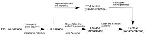 Lactase - Wikipedia