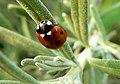 Ladybug on Lavender (262637123).jpg