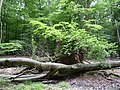 Landschaftsschutzgebiet Pferdebruch Eickholt Melle -Umgestürzter Baum- Datei 1.jpg