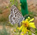 Lang's short tailed blue. Leptotes pirithous - Flickr - gailhampshire.jpg