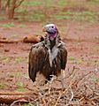 Lappet-faced Vulture (Torgos tracheliotos) on giraffe carcass ... (33202927932).jpg
