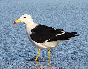 Olrog's gull - Image: Larus atlanticus 1