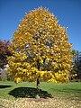 Lasdon Arboretum - Tilia tomentosa - IMG 1525.jpg