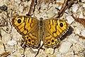 Lasiommata megera LC0311.jpg
