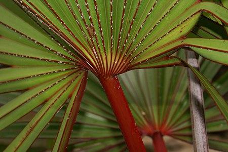 Latania lontaroides young foliage (detail).JPG