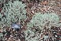 Lavandula stoechas 'Otto Quast' - McConnell Arboretum & Botanical Gardens - DSC02942.JPG