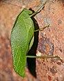 Leaf Katydid (Eurycorypha sp.) (15847851124).jpg