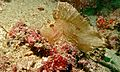 Leaf Scorpionfish (Taenianotus triacanthus) (6088387122).jpg