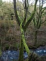 Leaning tree above the Bovey - geograph.org.uk - 1086024.jpg