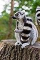Lemur (36499873743).jpg