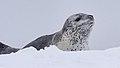 Leopard Seal (18110129948).jpg