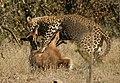 Leopard kill - KNP - 001.jpg
